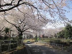 西三田住宅集会所の桜